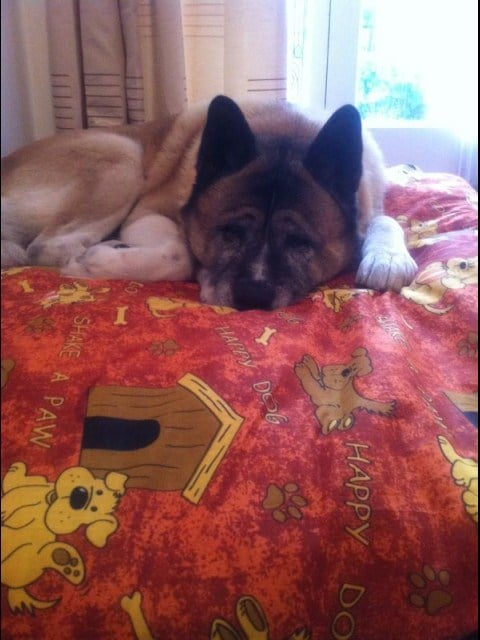 Technical Account Manager Simon Cheng says his Akita, Bobo, is heavier than he is!