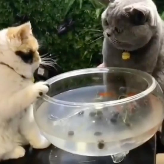 Cat Protecting Goldfish From Hungry Brother Video