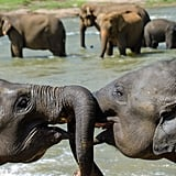 Elephants can live to be 70 years old or more. Elephants use their trunks to breathe like a snorkel in deep water while swimming.