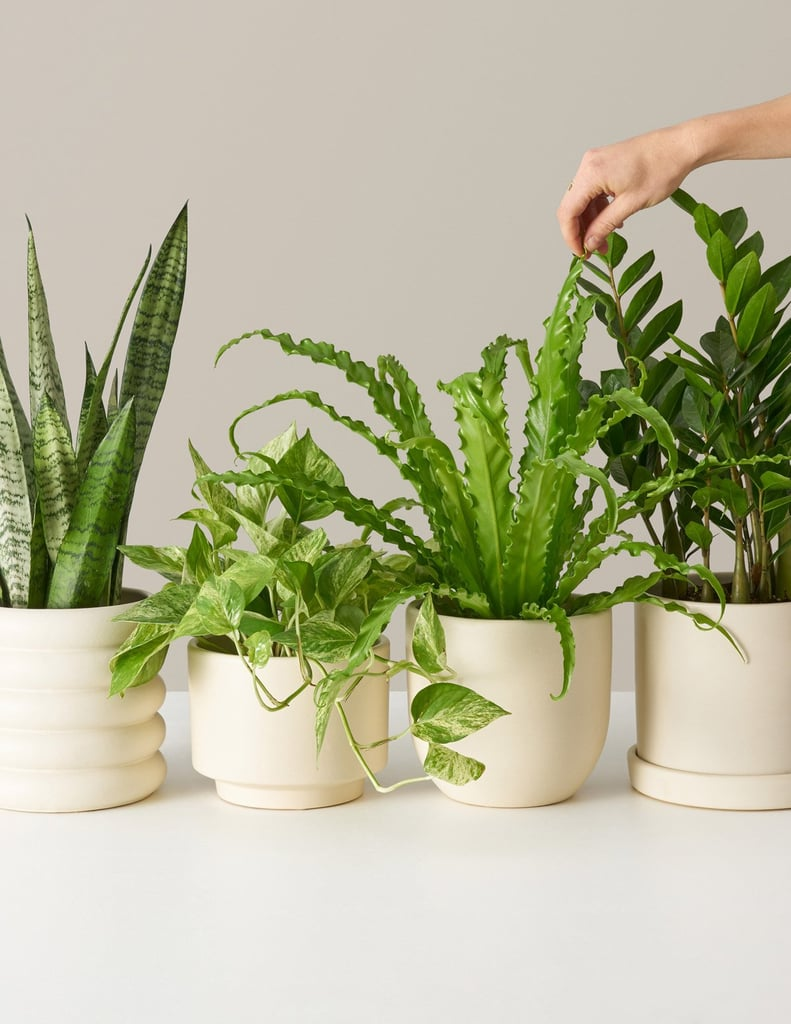 The Sill Medium Plants for Beginners: Monthly Subscription
