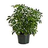 Schefflera Green Arboricola