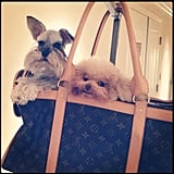 Ciara put her puppies in a Louis Vuitton bag. Source: Instagram user ciara