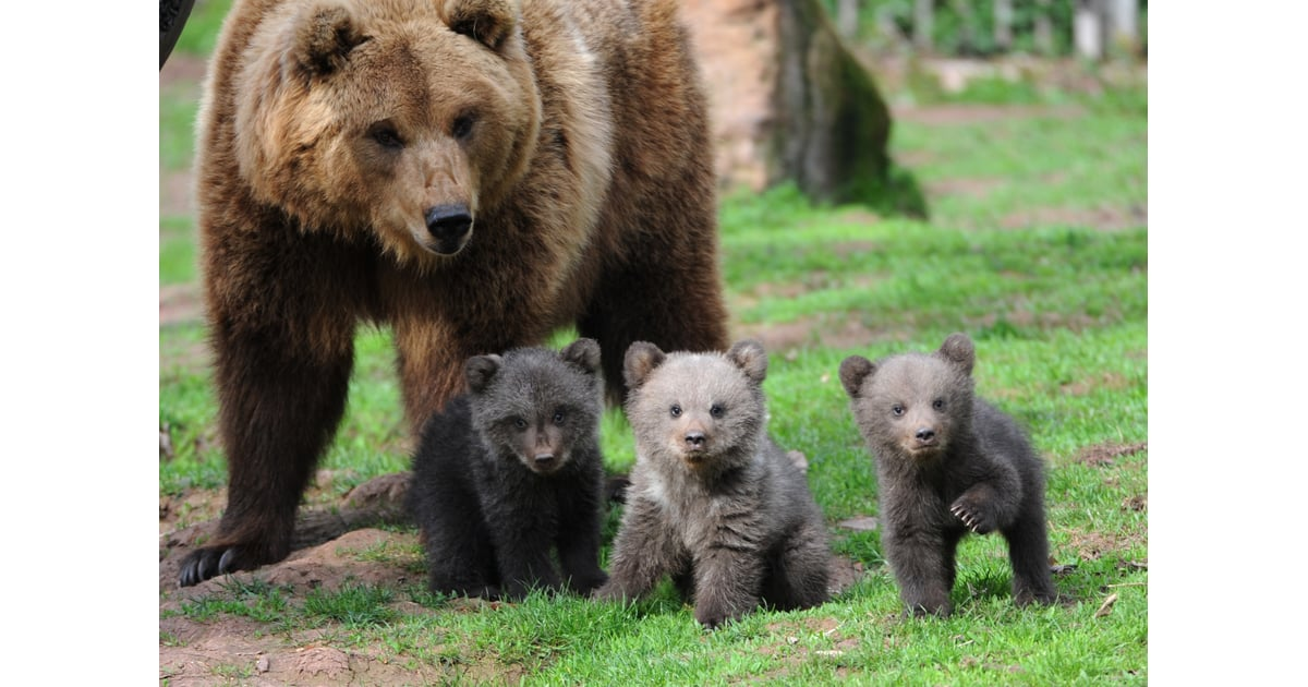 Ursus Arctos Or The Brown Bear Is A Species Among Which