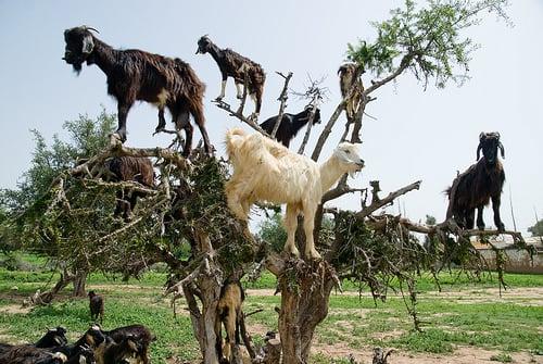 How Goats Climb Trees and Help Produce Argan Oil