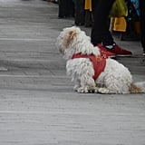 Street Dogs in Peru