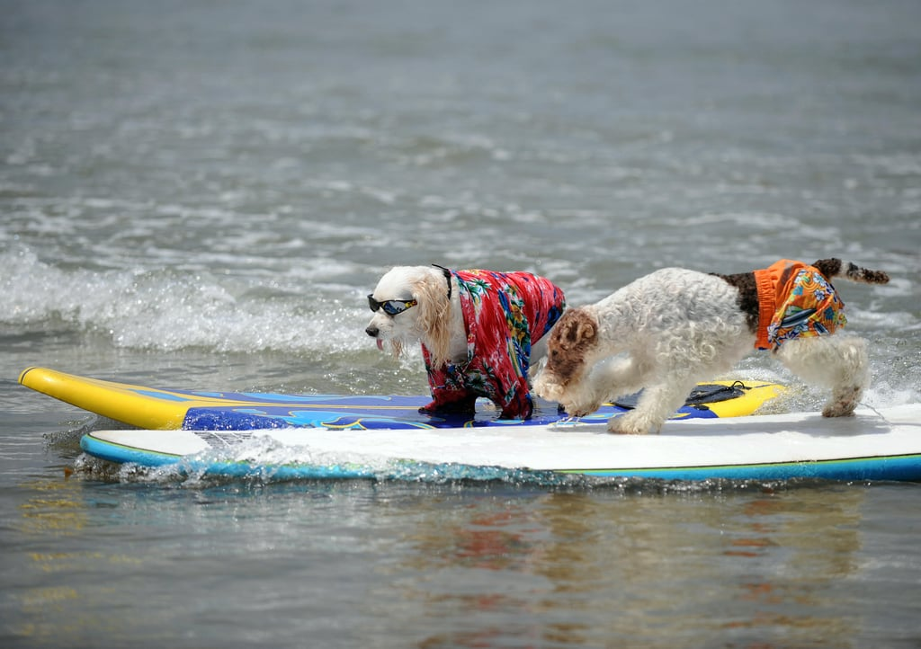 Welcome to the Surf Dog Competition