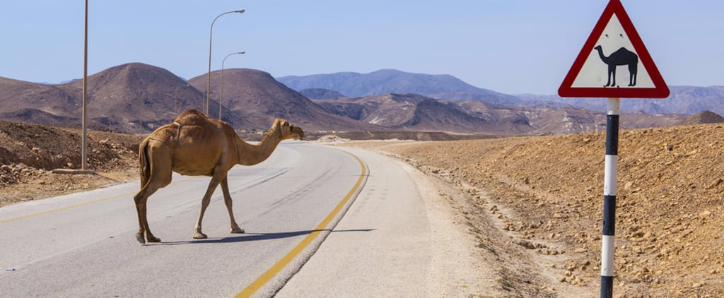 Camel Owners in Oman Must Attach Lights to Camels
