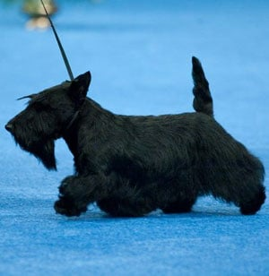Sadie the Scottish Terrier Wins the 2009 National Dog Show