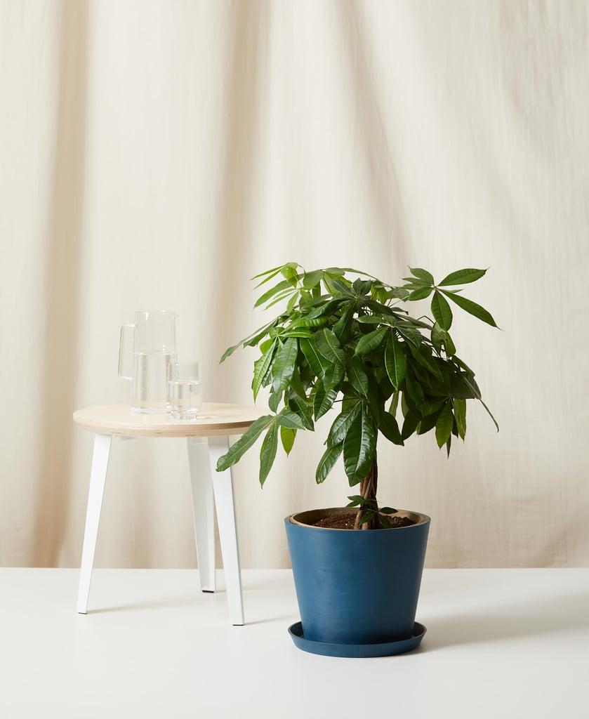 Potted Money Tree Plant