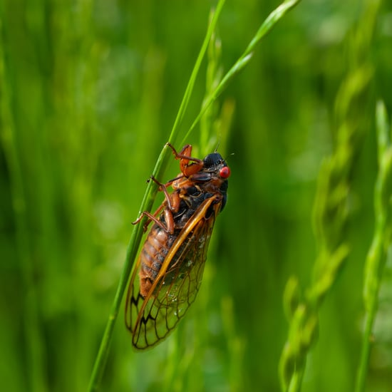 What Happens If My Dog Eats a Cicada?