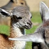 A days-old guanaco (wild llama) in Berlin snoozes in the sunshine.