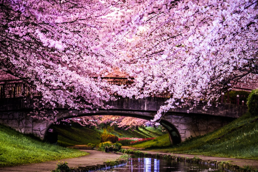Cherry Blossom Trees In Japan Most Interesting Trees In