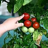 Dwarf Tomato Plant
