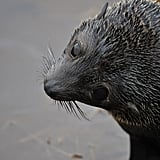 Typically, fur seals spend the Summer in big groups at specific beaches of rocky areas for breeding.