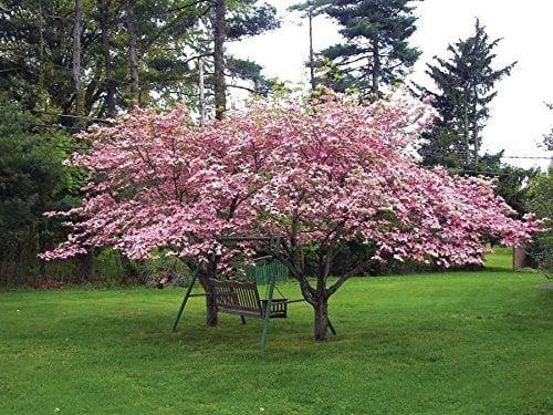 """Pink Dogwood Tree 8-16"""" Tall"""