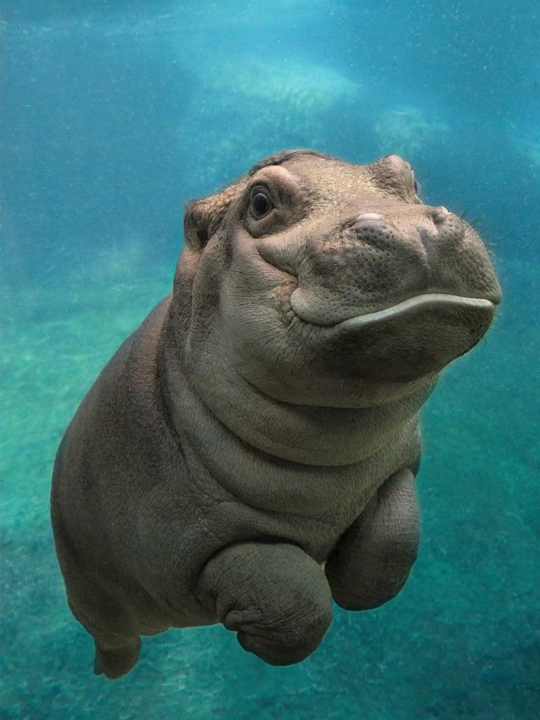 This happy baby hippo