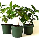 Arabica Coffee Plant Pot Set, 3-Pack ($19)