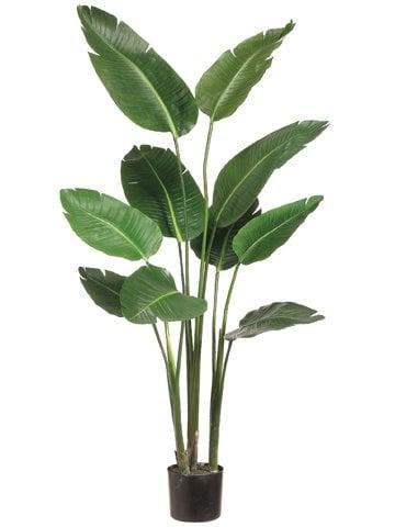 Bird of Paradise Plant
