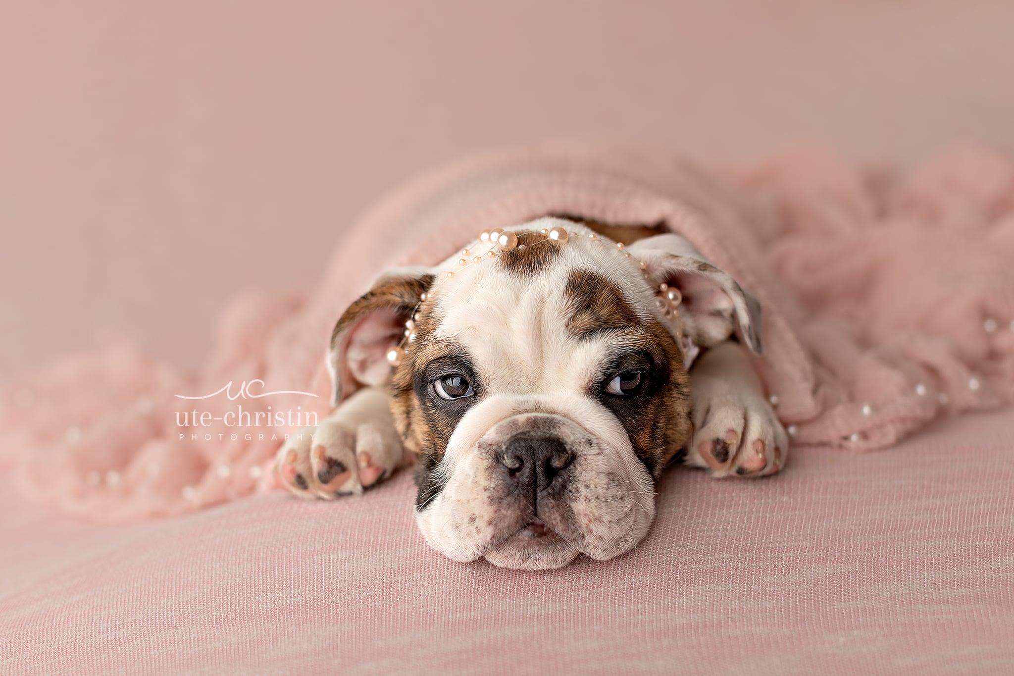 Newborn English Bulldog Puppy Photos For Valentine S Day Popsugar Pets