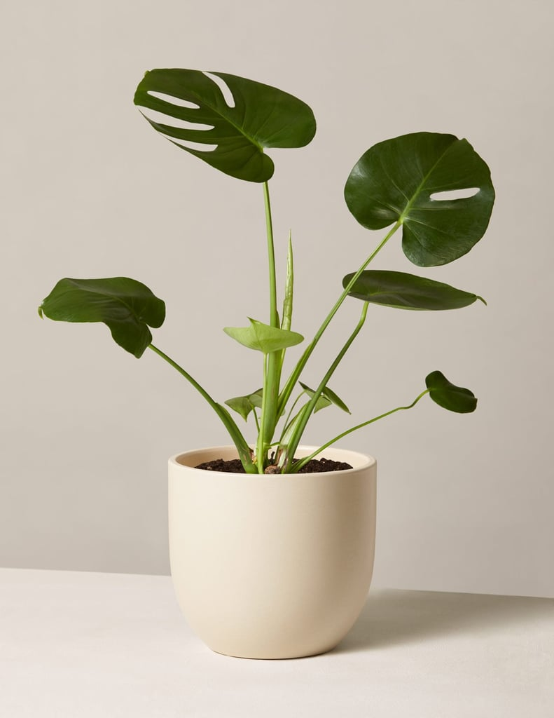 Monstera In Medium Grant Planter
