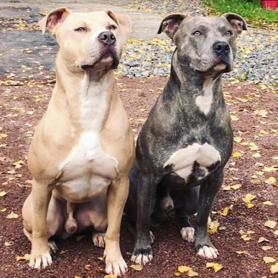 Pitbulls Move Perfectly in Sync Like Robots Video