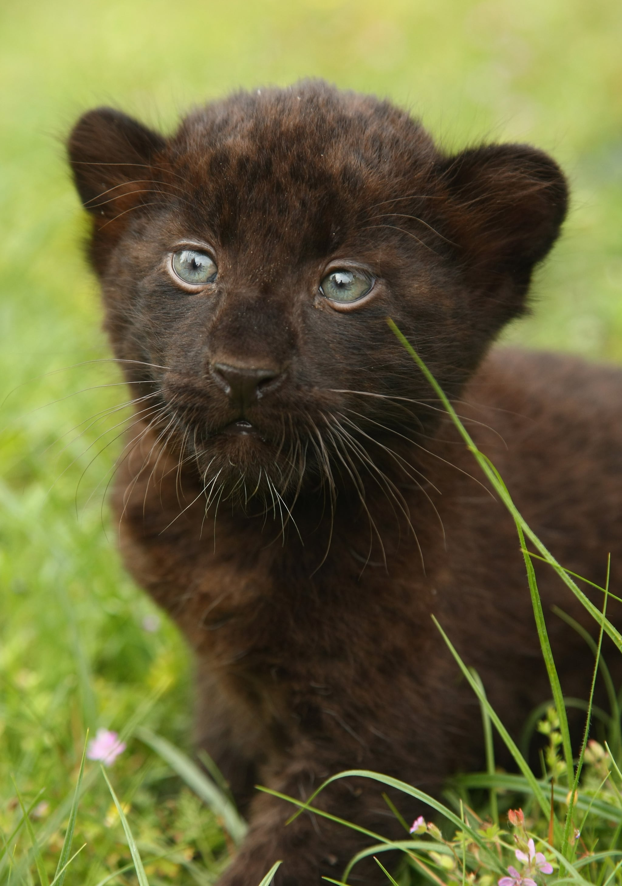Baby panther cubs - photo#54