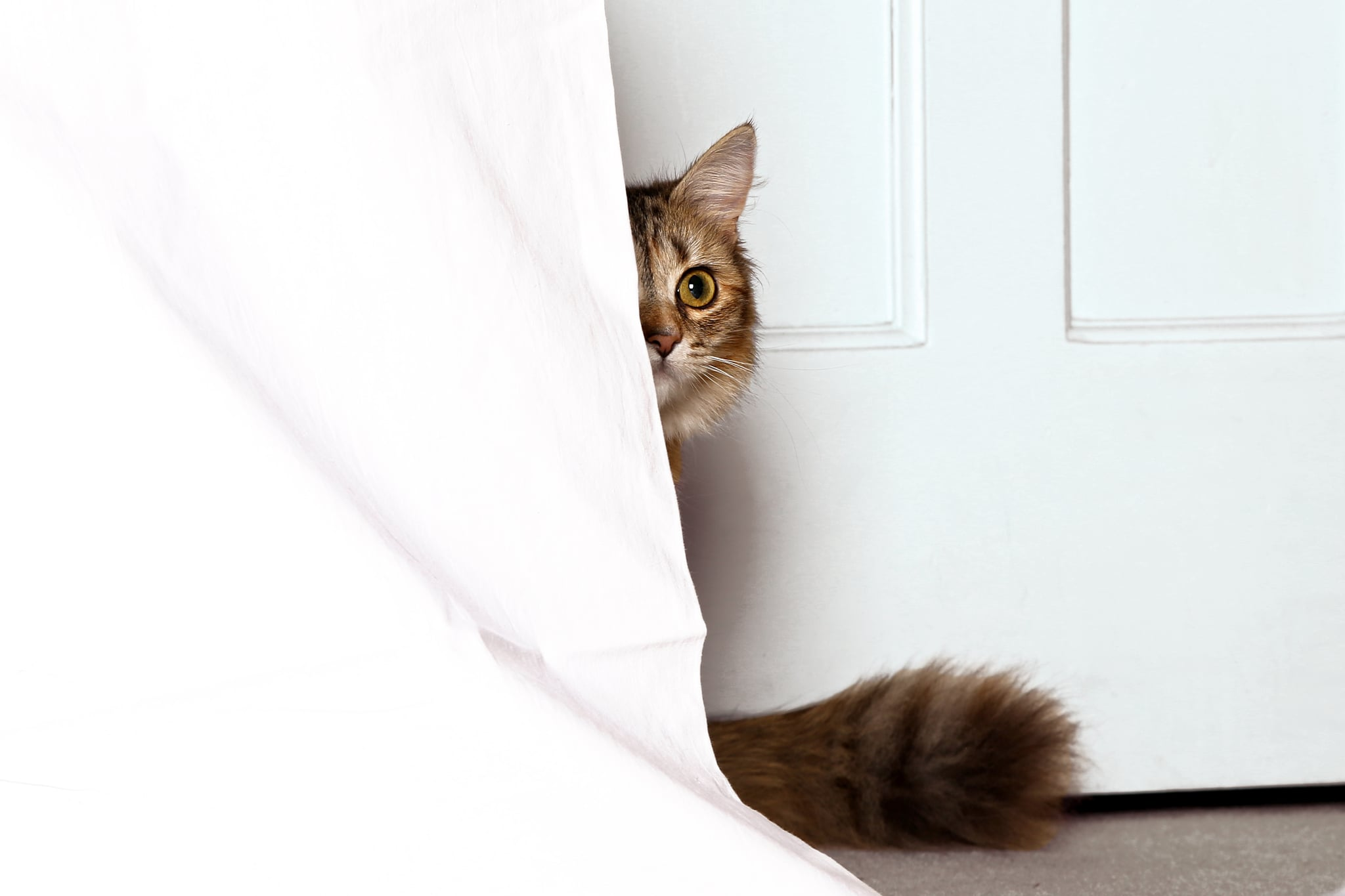 Cat coming out of behind bedsheets.