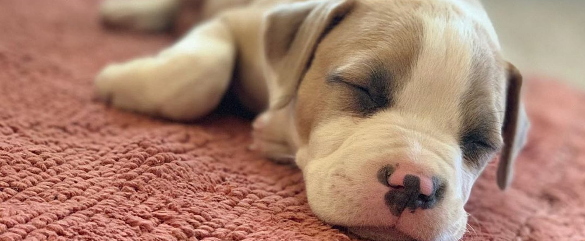Cute Pictures of Pit Bull Puppies