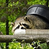 This raccoon, who is pretending a bucket is a weighted blanket.