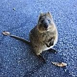 كحال معظم الكنغريّات، لدى الكوكا جيب في بطنه وهو حيوان عاشب، لكن على عكس الحيوانات الشقبانية الأُخرى في عائلته، يمكنه تسلق الأشجار والشجيرات. Source: Tumblr user Right as Rain