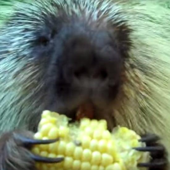 Talking Porcupine I Video