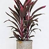 Dracaena Ti Plant