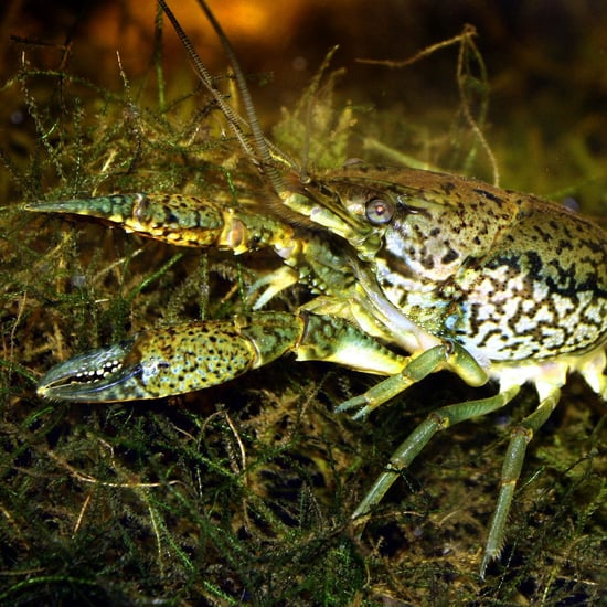 Mutant Marbled Crayfish Female Cloning Without Male