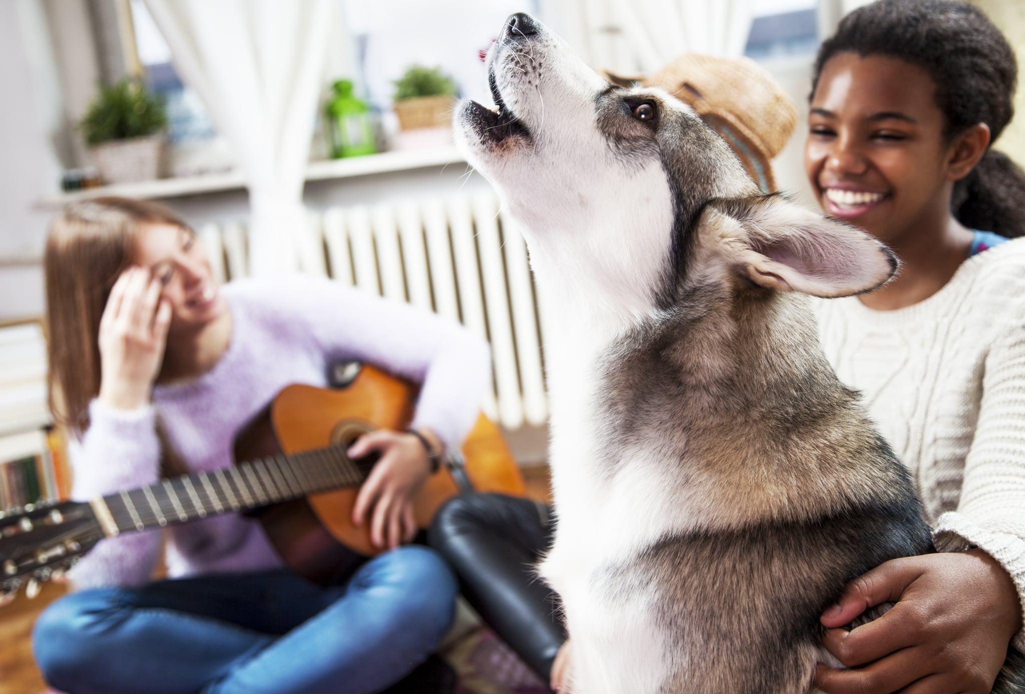 Multi ethnic young girls playing with Siberian Husky, at living room