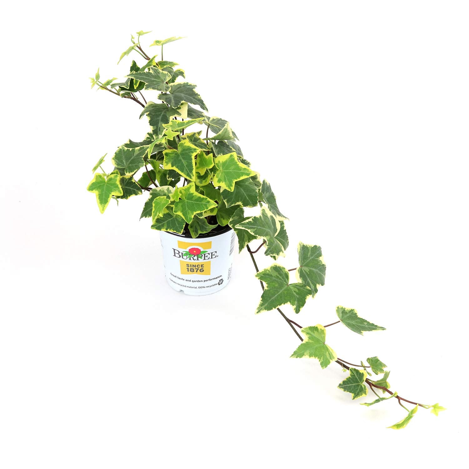 Ivy in Variegated Gold | 50 Hanging Plants That Will ... Greenhouse Plant Ivy on how grow zinnia plants, bayou plants, farm plants, cartoon fern plants, potted plants, indoor plants, watering plants, tomatoes plants, fertilizing plants, pepper plants, sci-fi plants, nursery plants, annuals plants, water plants, history plants, tropical plants, horticulture plants, landscaping plants, pruning plants, green plants,