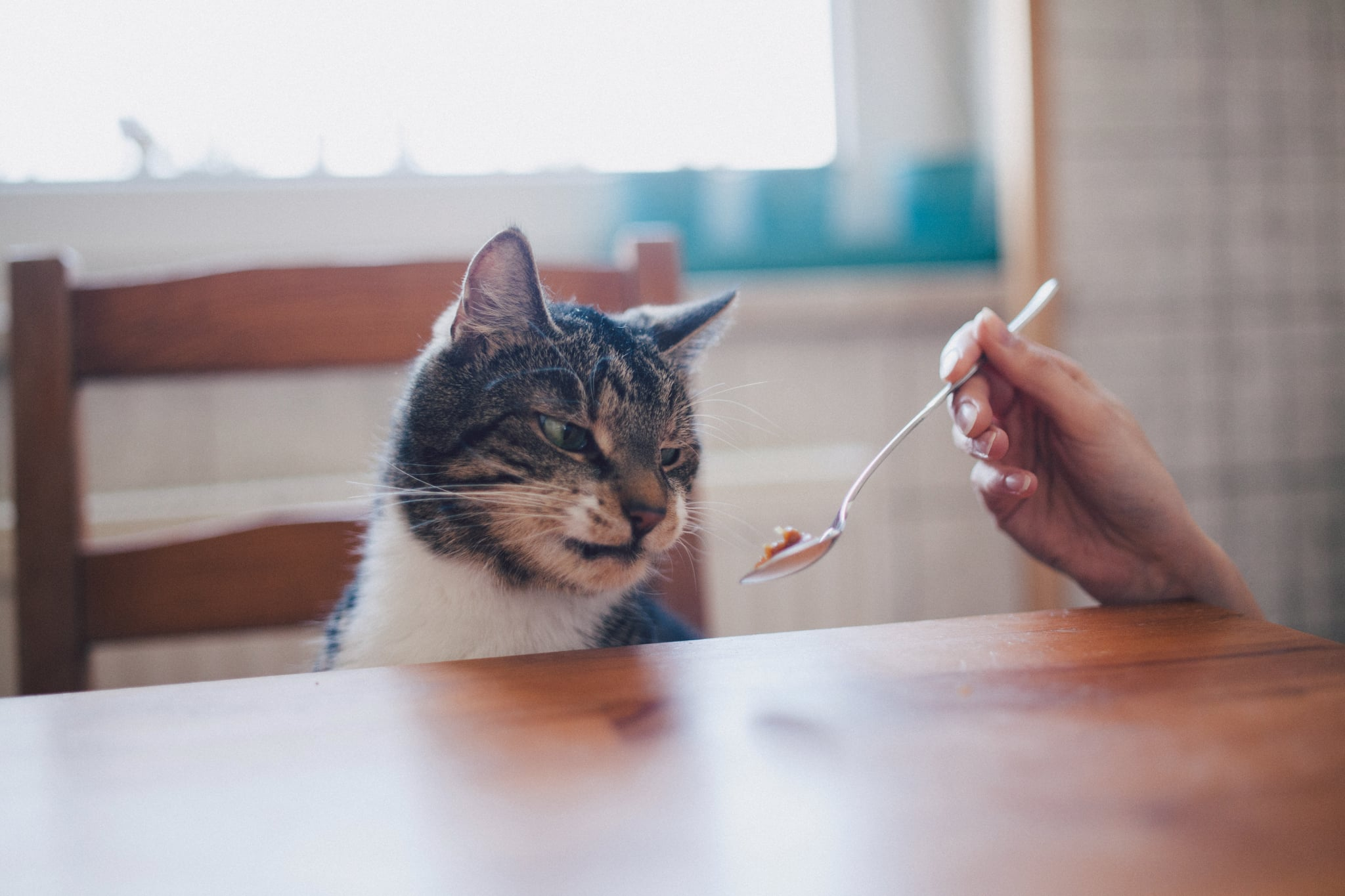 Cat looking disgusted from feeding with a spoon.