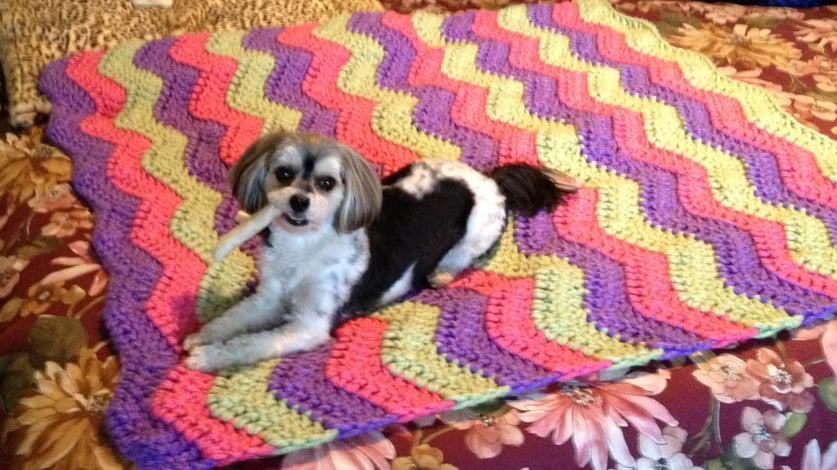 Account Manager Michelle Leon's Maltese-Yorkie mix, Chloe, looked stylish on a colorful throw.