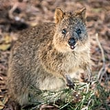Quokkas live among tall grasses and shrubs, organized in family groups led by a male, and become active at night, gathering in large social groups.
