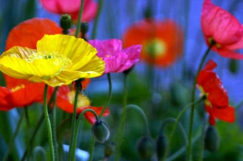 Flowers 101: Poppies