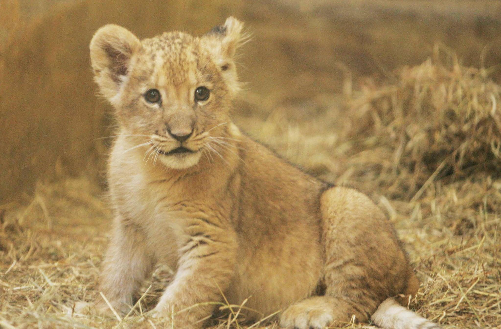 Baby Lion's Got No Name, So Let's Call Him Cute | POPSUGAR ...