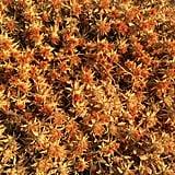 High-Oleic Safflower Oil