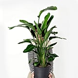 Potted Bird of Paradise Indoor Plant