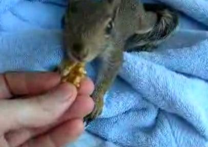 Cute Squirrel Hides His Nuts in a Towel