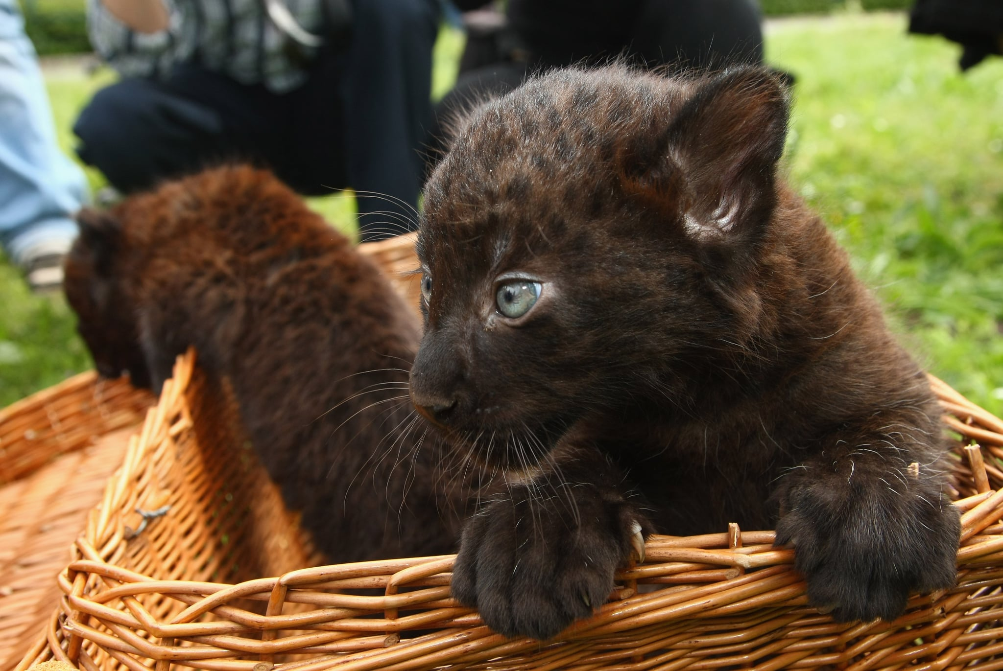 Baby panther cubs - photo#37