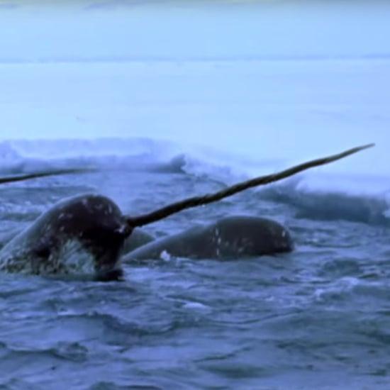 Narwhal Safari in Arctic Canada