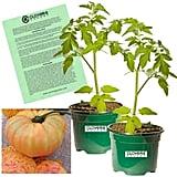Clovers Garden Heirloom Pineapple Tomato Plants