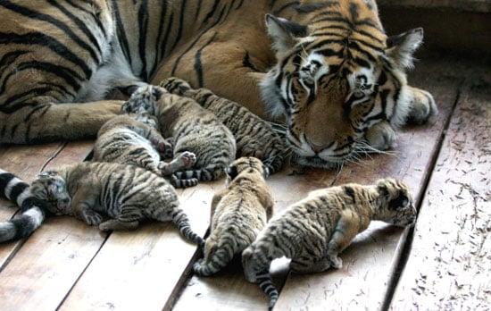Photos of Tiger Cubs