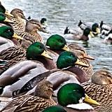 The Quacker