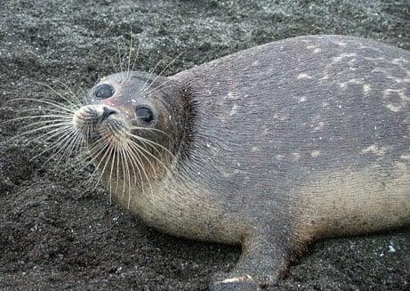 The Caspian Seal