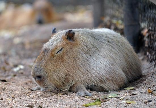 Capybara Pictures